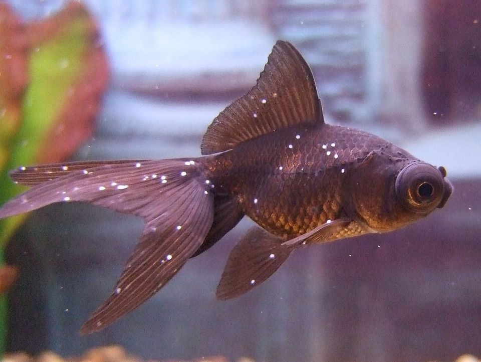 Fish Parasites >> Fish Disease Parasites The Pond Shop