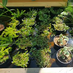 Low Growing Pond Plants